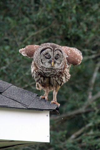 Owl May 2016 (11)